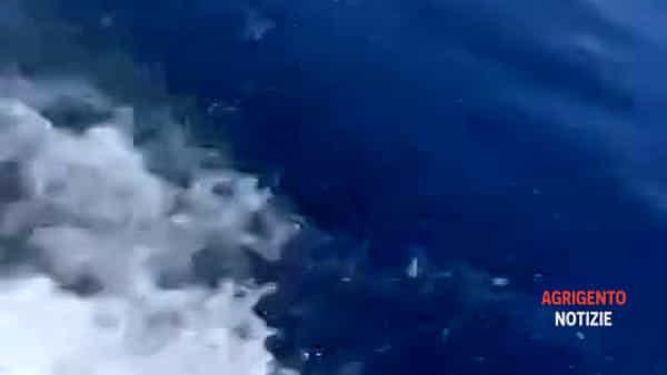 Decine di delfini nel mare di San Leone, lo stupore dei bagnanti: ecco le immagini