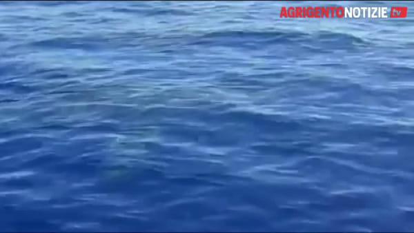 Un giro in barca in compagnia di uno squalo bianco: le spettacolari immagini di Lampedusa