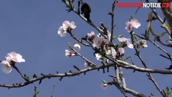 """""""Assaggio"""" di primavera nella Valle dei Templi: ci sono i primi mandorli in fiore"""